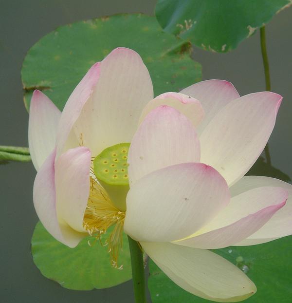 Purity Of The Pink Lotus Print by Renu Anne