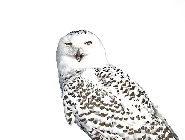 Inspired Nature Photography By Shelley Myke - Purity- Snowy Owl in the Winter Snow
