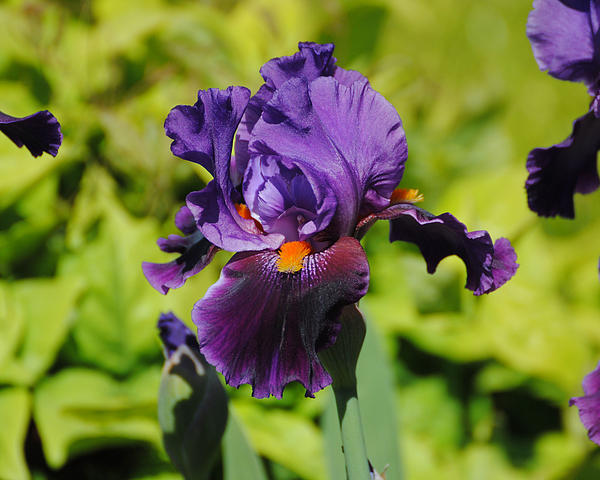 Purple and Orange Iris Flower Photograph