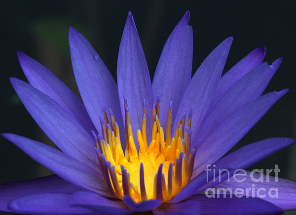 Purple And Yellow Water Lily Print by Sabrina L Ryan