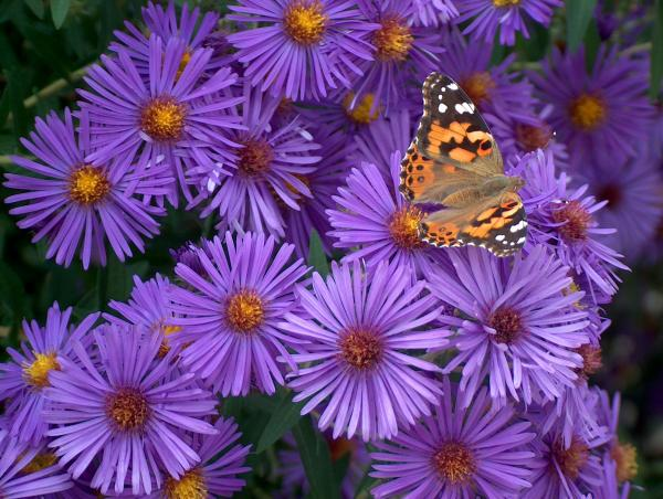 Purple Asters And Butterfly Photograph  - Purple Asters And Butterfly Fine Art Print