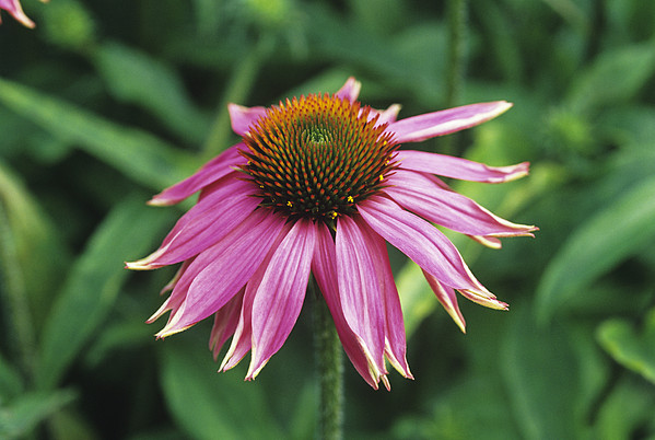Purple Coneflower Print by Duncan Smith