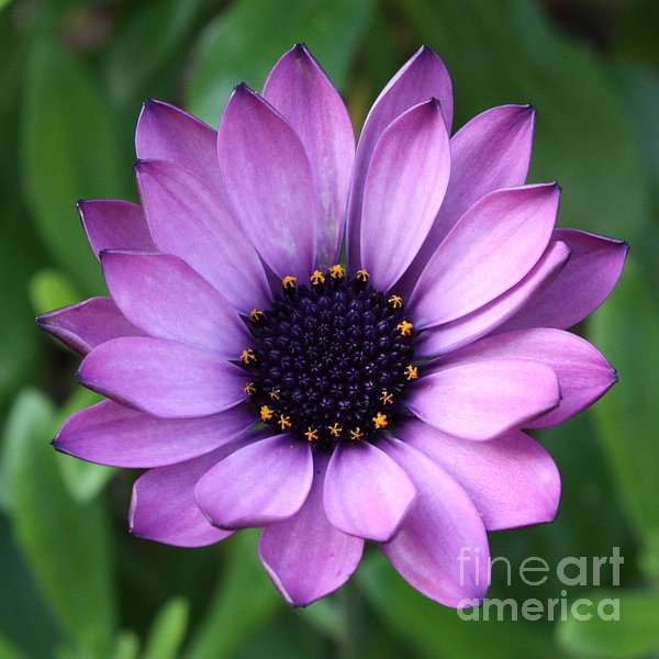 Purple Daisy Square Print by Carol Groenen