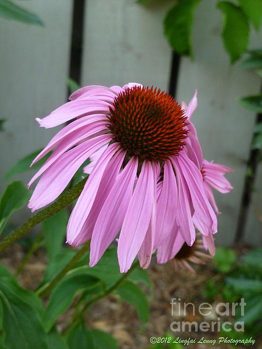 Lingfai Leung - Purple Echinacea
