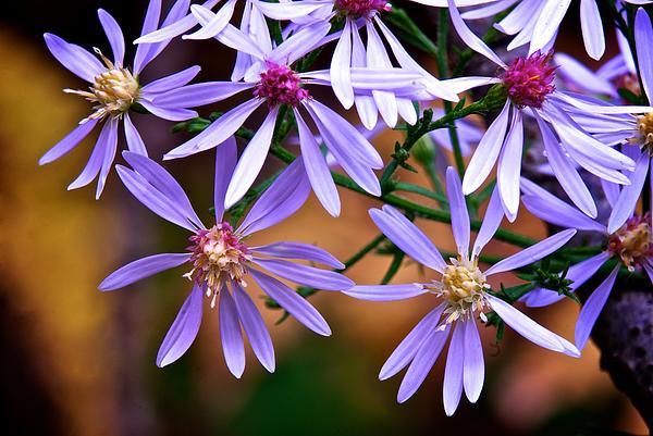 Purple Flowers Print by Andre Faubert