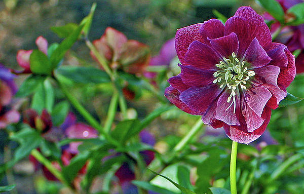 Purple Hellebore Photograph  - Purple Hellebore Fine Art Print