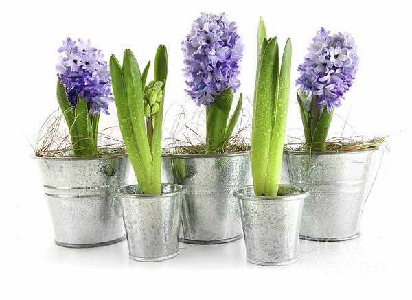 Purple Hyacinths Print by Sandra Cunningham