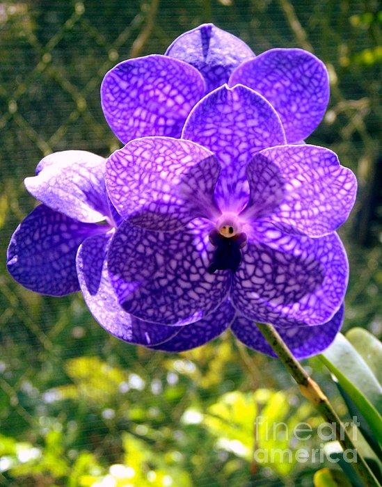 Karen Wiles - Purple Orchid