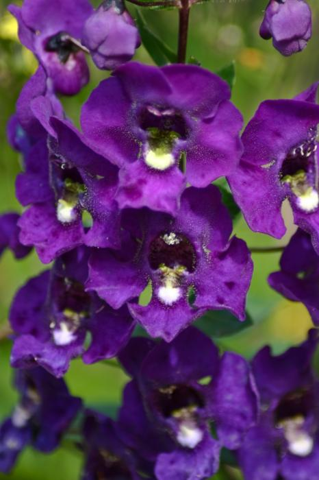 purple orchids  klejonka, Beautiful flower