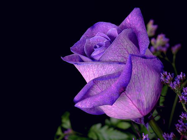 Purple Rose Print by Darren Fisher