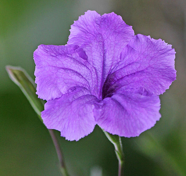 Purple Ruellia Print by Becky Lodes