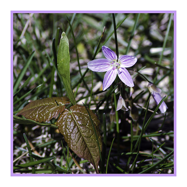 LeeAnn McLaneGoetz McLaneGoetzStudioLLCcom - Purple Spring Trail Flower