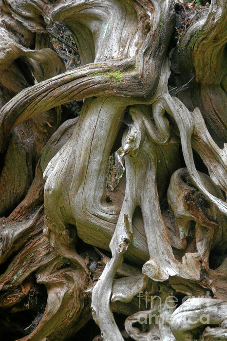 Quinault Valley Olympic Peninsula Wa - Exposed Root Structure Of A Giant Tree Print by Christine Till