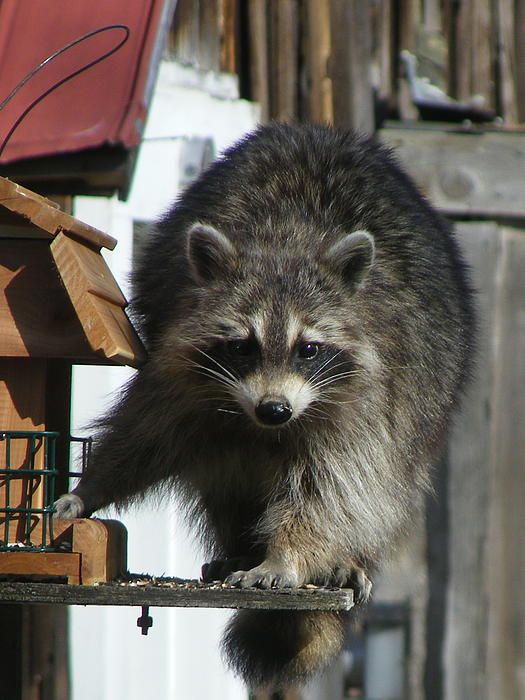 Racoon At The Bird Feeder Photograph  - Racoon At The Bird Feeder Fine Art Print