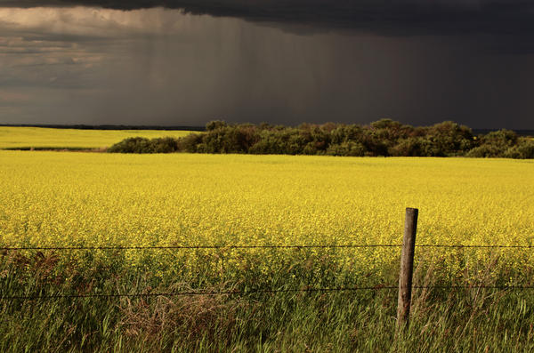 Rain Front Approaching Saskatchewan Canola Crop Digital Art  - Rain Front Approaching Saskatchewan Canola Crop Fine Art Print