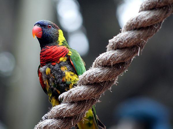 April Wietrecki Green - Rainbow Lorikeet