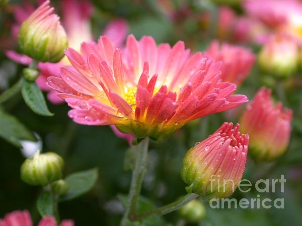 Rainbow Mums Print by Living Color Photography Lorraine Lynch