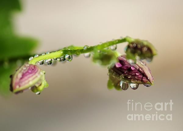Raindrops On Orchid Buds Print by Theresa Willingham