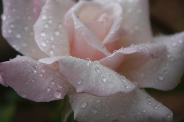 images of roses with rain drops. Raindrops On Roses Photograph - Raindrops On Roses Fine Art Print - Yvonne
