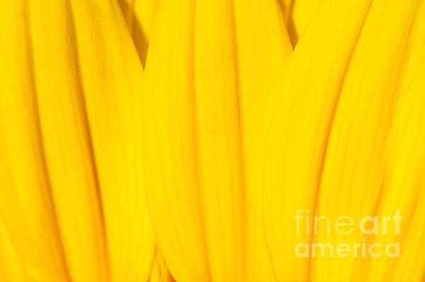 Luke Moore - Rays of Sunflower