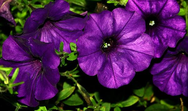 Karen Harrison - Really Purple