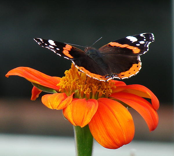 Red Admiral Print by Nicola Butt