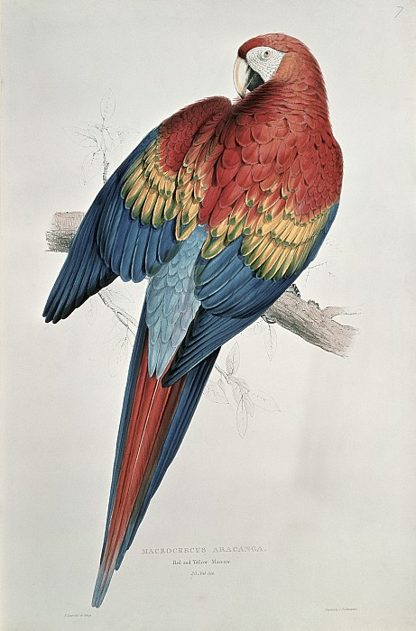 Red And Yellow Macaw  Print by Edward Lear
