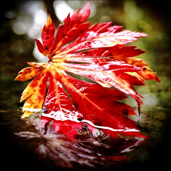 Vorona Photography - Red Autumn leaf