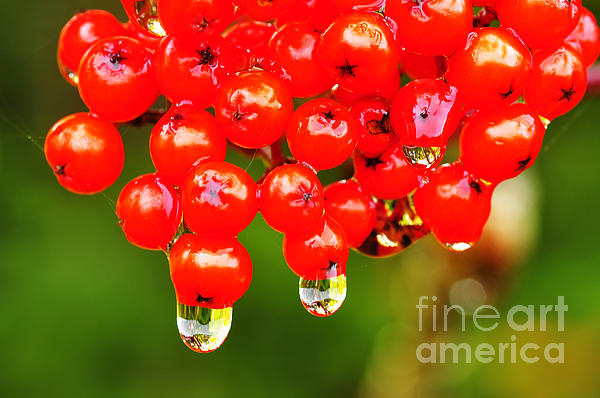 Red Berries And Raindrops Print by Thomas R Fletcher
