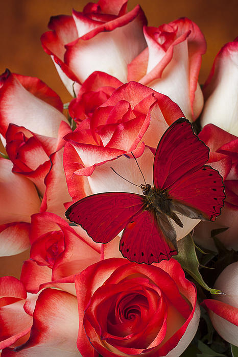 Garry Gay - Red butterfly on blush roses