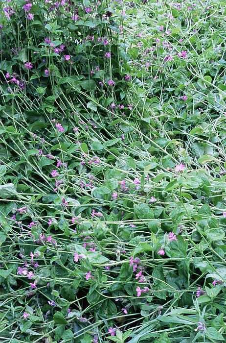 Red Campion (silene Dioica) Print by Maxine Adcock