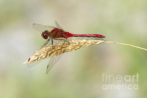 Sharon  Talson - Red Dragonfly