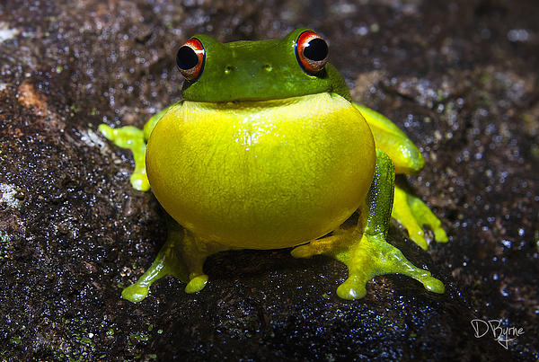 Derek Byrne - Red-Eyed Tree Frog - Litoria chloris
