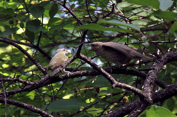 Doris Potter - Red-eyed Vireo feeding Cowbird fledgling