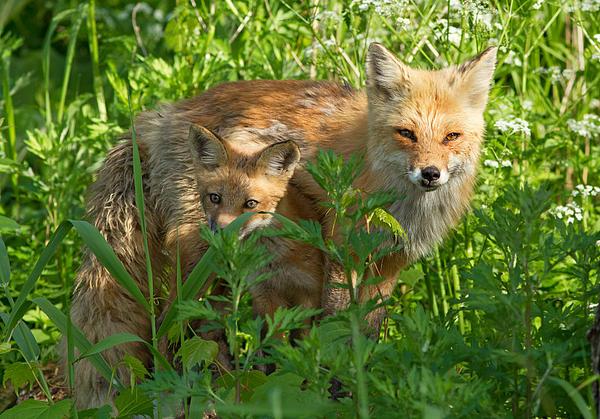 Mircea Costina Photography - Red fox family