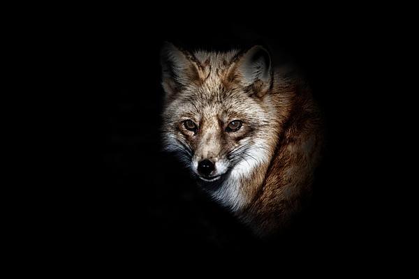 Red Fox Print by Karol  Livote