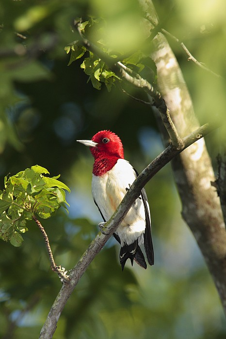 Red-headed Woodpecker Perched On A Tree Print by George Grall
