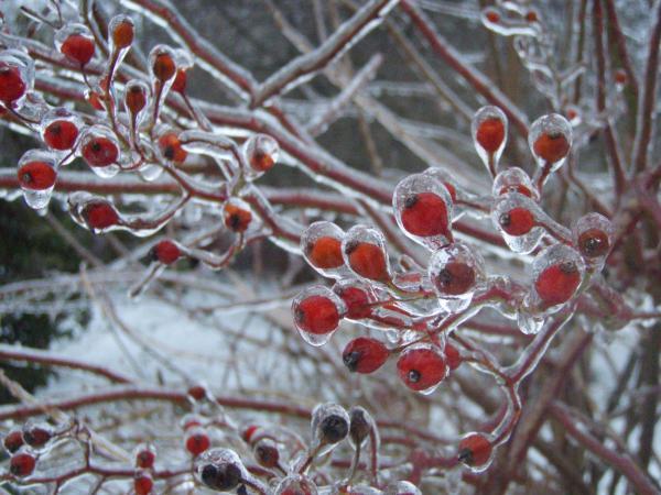 Red Ice Berries Print by Kristine Nora