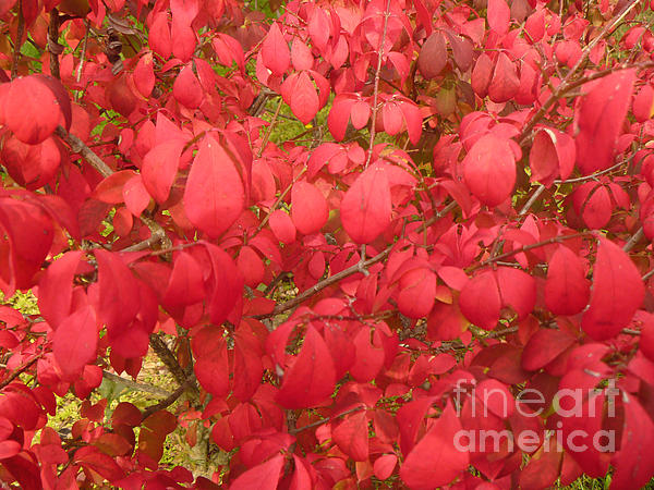 Red Leaves Iv Print by Alys Caviness-Gober