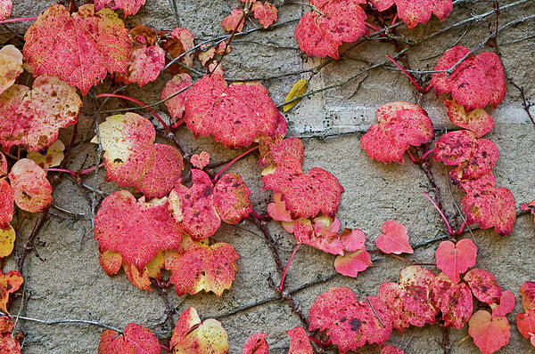 Red Leaves Print by Scott Norris