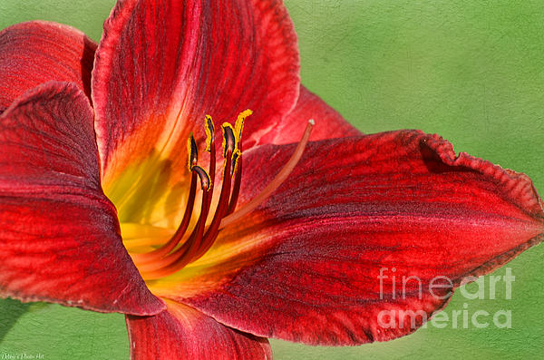Debbie Portwood - Red lily with texture