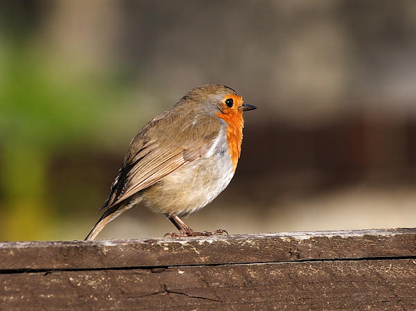 Lynne Dymond - Red Robin on Fence