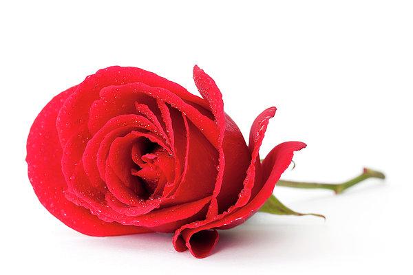 Red Rose Print by Andrew Dernie