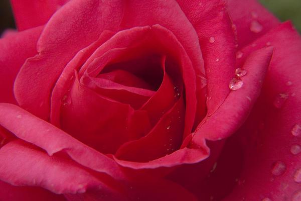 Darleen Stry - Red Rose with Rain tears