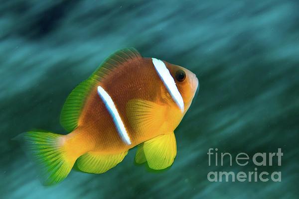 Red Sea Clownfish  Print by Hagai Nativ