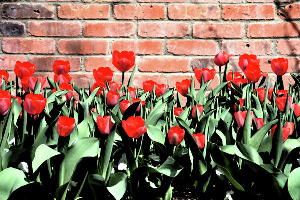 Angelina Vick - Red Spring Tulips 2