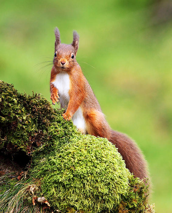 Red Squirrel Print by Grant Glendinning