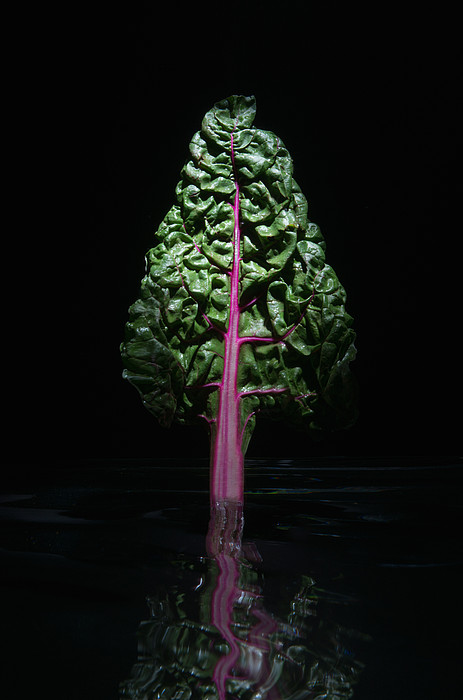 Red Swiss Chard Leaf Print by PM Images
