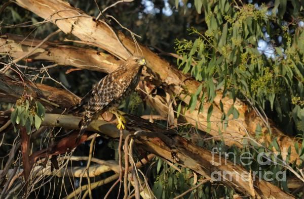 Red Tail Hawk Camouflage Print by Marc Bittan
