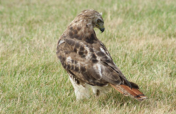 Lois Lepisto - Red Tail Hawk two